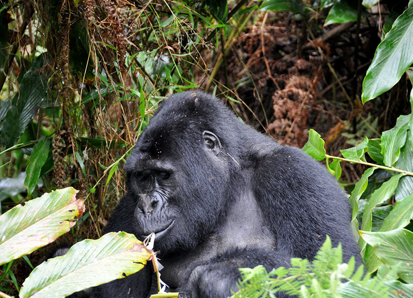bwindi-mountain-gorilla-safari-uganda