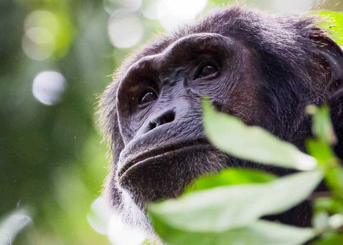 kibale-chimpanzee-tracking-uganda-safari-tour