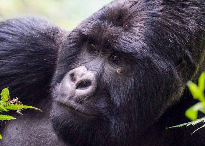 mountain-gorilla-safari-mgahinga-national-park-uganda