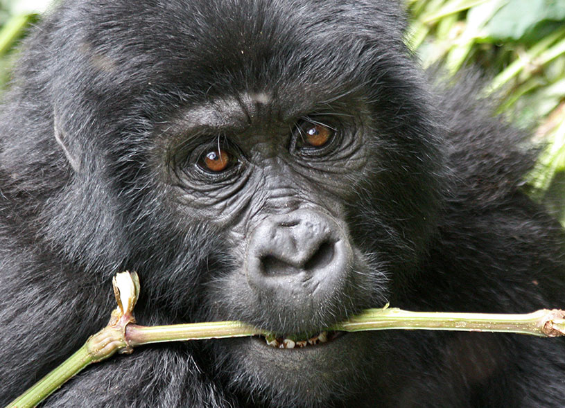 mountain-gorilla-safari-uganda