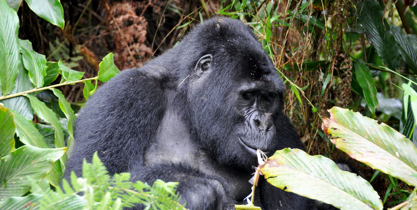 mountain-gorilla-safaris