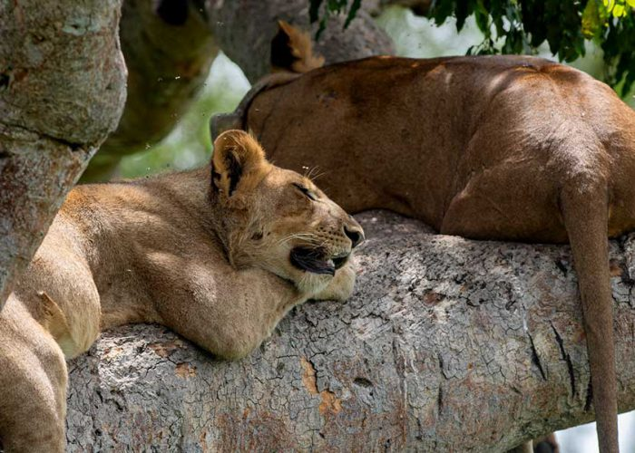 tree-climbing-lions-ugada-safari-tour
