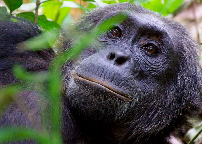 uganda-chimpanzee-wildlife-safari
